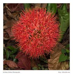 Blood Lily (drkrishi) Tags: india asia review karnataka bloodlily in amaryllidaceae dakshinakannada angiosperms monocots scadoxus moodabidri moodbidri asparagales scadoxusmultiflorus akruthi