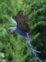 234A6497.jpg (Mark Dumont) Tags: birds animals wow zoo mark cincinnati macaw hyacinth dumont