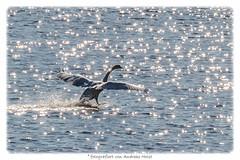 sternenfnger - star catcher (explored 29.06.2016) (FotoHolst) Tags: schwan vogel see meer fotoholst fliegen zugvogel