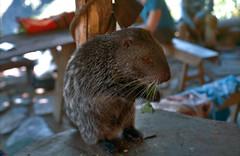 Peru-0023 (nomorenails) Tags: peru portra 400 nikon fe2 agouti capybara rodent