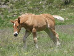P1000236 (Franois Magne) Tags: cheval libert poulain jument blond blonde bai frange montagne etang lanoux estany de lanos lac pyrnes