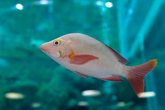 IMG_3840.jpg (kntrty) Tags: fish aquamarine   tropicalfish