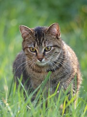 L'instinct ***--+-°° (Titole) Tags: grass cat droplets kat bokeh tabby gato katze gatto gettyimages vendu sguardi cywinner 15challengeswinner supercontest friendlychallenges ultrahero fotocompetitionbronze ultimategrindwinner storybookttwwinner titole gi201301 microsoftmutlimediapublishin nicolefaton