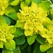 Cushion Spurge Closeup