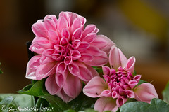 Dahlia (WaterBugsPics) Tags: pink flower layer spring herowinner challengeclub dahlia raindrops challengeyouwinner cyunanimous