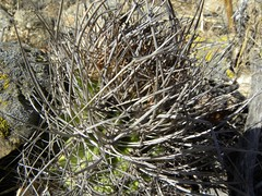 DSCN8551 (Robby's Sukkulentenseite) Tags: chile cactus cacti coquimbo reise kaktus kakteen eriosyce tongoy standort subgibbosa neoporteria nigrihorrida rb2027 ka4151s