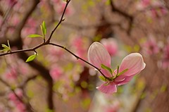 nikon d5100 spring photography: backview of a magnolia and bokeh (photo no. 2) --------- viewed 578x (norlandcruz74) Tags: lighting pink flowers sunlight blur field composition lens point ed spring flora nikon dof view bokeh pov background blossoms perspective cruz ii shade magnolia framing nikkor dslr depth afs 2012 dx 18200mm norland d5100
