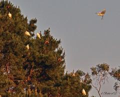 Garcetas anidando en un pino en la Ra de O Burgo. Galicia. (el Buho n30) Tags: cc creativecommons egrets garcetas radeoburgo elbuhon30