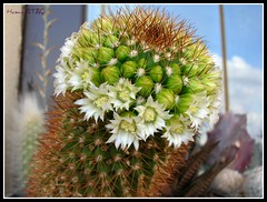 Mammillaria backenbergiana (Hasan Ataç) Tags: