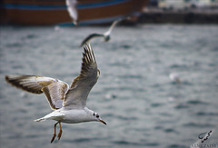 (Mohammed Almuzaini   ) Tags: camera sea sky bird beach port canon lens nikon flickr photographer gull cam muhammad abdullah               shindagha      muzaini