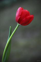 Charming Tulip [ EXPLORED ] (-clicking-) Tags: red flower macro nature floral beautiful beauty closeup spring nice flora natural blossom bokeh dream charm dreaming tulip bloom lovely charming daydream springtime tulipa blooming redtulip colorphotoaward wonderfulworldofflowers saariysqualitypictures hoautkimhng