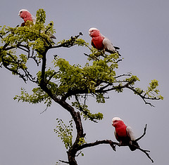 galahs in a gidyea tree (Explored) (Fat Burns) Tags: bird parrot galah australianbirds australianparrot gidyea