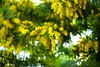 Secret Garden (moaan) Tags: life color green colors yellow digital 50mm spring dof bokeh utata april mimosa 2012 wattle f12 inlife ef50mmf12lusm yellowmagic canoneos5dmarkiii acaciadealbeta