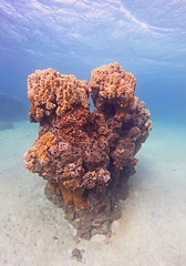 coral (bluewavechris) Tags: ocean life blue sea nature water coral canon hawaii sand marine underwater head wildlife maui reef creature 1022 aimal seaseahousing t1i