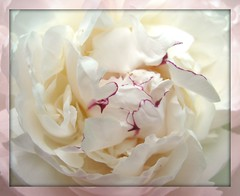 """""""Beautiful in White"""" (ellenc995) Tags: white flower garden peony naturesfinest coth supershot bej fantasticnature akob citrit platinumheartaward rubyphotographer 100commentgroup coth5 naturallywonderful ruby10 ruby15 thesunshinegroup sunrays5 ruby20 challengeclubchampion"""