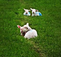 Lambs on the trail (Dazzygidds) Tags: blue grass pretty derbyshire peakdistrict innocent pairs lambs 17 cuteness derbyshiredales peakdistrictnationalpark limestoneway