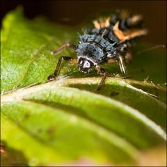Ladybird Larvae (*ian*) Tags: plant macro closeup bug insect square leaf bush dof ladybird ladybug favourite larvae bigemrg mygearandme