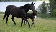 Hilde ja varsa (smerikal) Tags: lake mare foal järvi varsa standardbred tamma lämminverinen