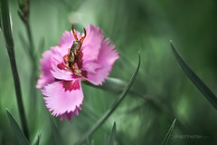 La romance, en pincer pour... (cliccath) Tags: macro earwig macrophotography homoptera dermaptera macrophotographie perceoreille forficulidae canoneos5dmarkii forficule canonef100mmf28macrousmlens pinceoreille cliccath cathschneider