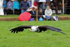 "African Fish Eagle (FlyingV99) Tags: school bird hall flying suffolk eagle display country fair owl falcon 2012 talons africanfisheagle prey"" ""birds heveningham ""english falconry"""