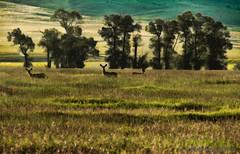 Deer on Alert ~ HSS (mt2ri) Tags: ranch trees canon montana mt farm sunday deer 7d dillon hay tamron beaverhead topaz sliders blacktail hss 18270 topazadjust mt2ri
