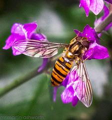 DSCF6082.jpg . a shot of a hover fly shot on my fuji hs 20 camera with light room 4 and my raynox dcr 250 marco lens (STITCH100) Tags: camera flowers light plants plant flower colour beautiful up rose gardens garden lens fly big perfect colours fuji close view shot image very shots room small 4 great views stunning marco 20 250 hs hover hs20 raynox