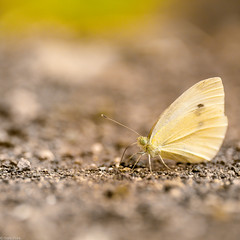 Happy Birthday, Char! (Mara T Pons) Tags: birthday macro yellow butterfly ground resting verano2012