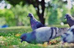 Doves of Paris (~ Jessy Simon ~) Tags: paris cute bird beautiful birds animal animals fauna pigeon dove pigeons adorable animaux beau doves oiseaux 2012 beaux faune paris2012