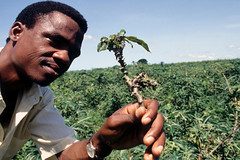 Cassava shoot tip with bunchy top (IITA Image Library) Tags: cassava mealybugs manihotesculenta bunchytop