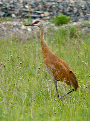 Sandhill Crane (Mikeydubz1) Tags: statepark travel students hiking michigan backpacking upnorth lakesuperior sandhillcrane porcupinemountains scienceclub wrhs scottheister