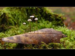 Come fly with me... (Loe Giesen) Tags: marasmiusrotula wieltje