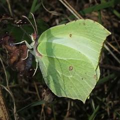 Gonepteryx rhamni - Brimstone (Camerar) Tags: uk butterfly insect butterflies brimstone pieridae gonepteryxrhamni