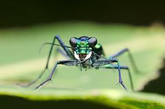 tiger beetle (zaidirazak) Tags: macro nature closeup wildlife insects malaysia sabah cicindelasp zaidirazak