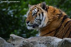 Siberian tiger - Olmense Zoo (Mandenno photography) Tags: animal animals cat zoo big belgium belgie tiger bigcat tigers tijger dieren dierentuin dierenpark olmen balen tijgers olmensezoo olmense