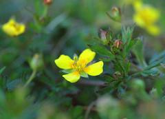 "Tormentil, ""Potentilla erecta"" (jamesdewar99) Tags: flower macro nature yellow heathland potentillaerecta tormentil sigma105mm"
