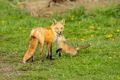 Red Fox Approval (ShutterTraxs) Tags: nature animal mammal spring wildlife iowa fox redfox 2016
