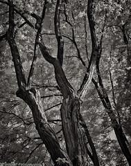 Trees in Late Light (mjardeen) Tags: blackandwhite bw white plant black tree mamiya monochrome ir washington outdoor north 55mm m42 infrared wa serene tacoma f18 slope sekor