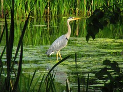 Heron (gallftree008) Tags: wild green bird heron nature birds crane wildlife reservoir stork avian naturesbeauties naturescreations