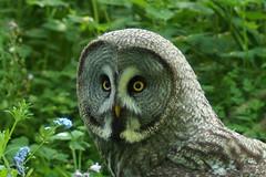 Walter, Great Grey owl (clare.blandford) Tags: walter hawk events great andover owl timeline birdsofprey conservancy gey