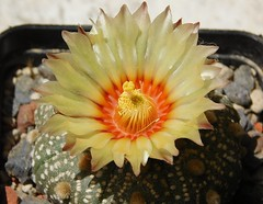 Astrophytum asterias (Resenter89) Tags: red cactus flower yellow cacti mix grasse desert 10 soil mineral cactaceae piante kakteen astrophytum asterias flowerscolors cactacee
