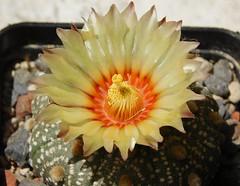 Astrophytum asterias (Resenter89) Tags: red cactus flower yellow cacti mix grasse desert 10 soil mineral cactaceae piante kakteen astrophytum asterias flowerscolors cactacee