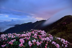 Alpine flowers @ Mt. Hehuan @ Rhododendron pseudochrysanthum (Vincent_Ting) Tags: sunset sky mountain night clouds sunrise star glow taiwan trails galaxy flare moonlight formosa   crepuscularrays startrails milkyway  seaofclouds            mountainhehuan             vincentting   hthehuan