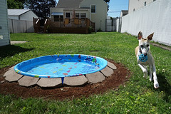 Spanky's Pool (DiamondBonz) Tags: summer dog pool play hound run whippet spanky