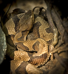 """Copperhead! (5'20"""") Tags: nature nc hiking snakes poisonous copperhead"""
