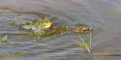 2016-05-06 - 16.09.23 - _L5B3332 - 1 (Rossell' Art) Tags: pad frog toad sapo rana frosch grenouille kikker rano bufo r krte crapaud  rospo doodebemde batracien