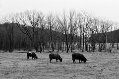 (justinlangston336) Tags: film animal analog cows berks kutztown nikonfm3a trix400 nikkor50mmf14d