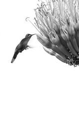 El instante (Gayoausius) Tags: bw white bird blancoynegro blanco beautiful female ave pajaro fondo comiendo vuelo colibr volando hembra monocromtico lampornisclemenciae chupamirto fondoblanco 7dwf