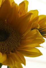 sunflower #4 (maria_logak) Tags: macro nikon sunflower macrolens