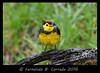 Collared Redstart (1382) (fbc57) Tags: costarica collaredredstart myioborustorquatus parulidae nikond500 trogonlodge newworldwarblers betterbeamerflashextender nikonsb910 nikontc14eiii nikon300f4pf costaricaendemicbird