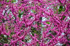 It's Spring (#KPbIM) Tags: park pink color spring blossom michigan may cranbrook bloomfieldhills 2016